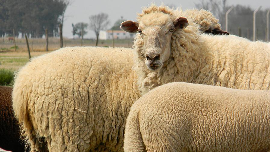 Mas kilos, más cabezas y mayor consumo interno; así llegan los ovinos a ArgenCarne