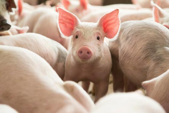 Los cerdos desembarcan en ARGENCARNE